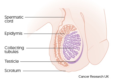 Diagram of the testicles