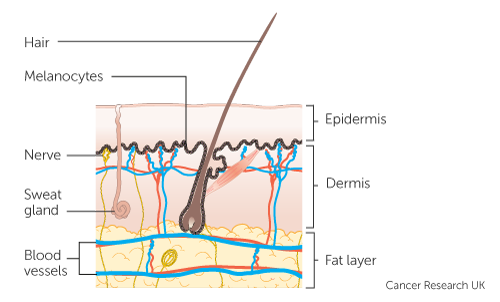 Diagram showing different layers of the skin