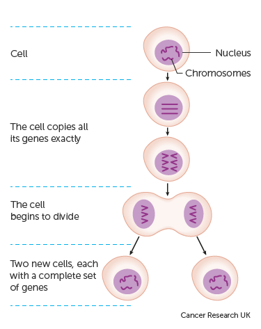 Diagram showing how new genes are made for new cells