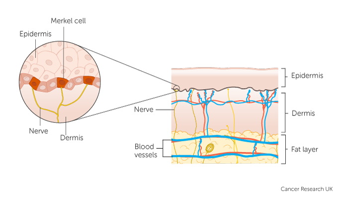 Diagram showing merkel cells