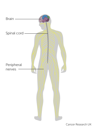 Diagram showing spinal cord and the brain