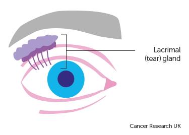 Diagram showing the Lacrimal Gland