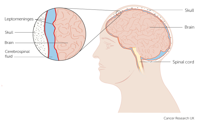Diagram showing the Leptomeninges