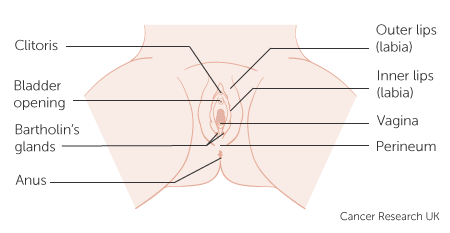 Diagram showing the anatomy of the vulva with Bartholinns glands