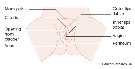 Diagram showing the anatomy of the vulva