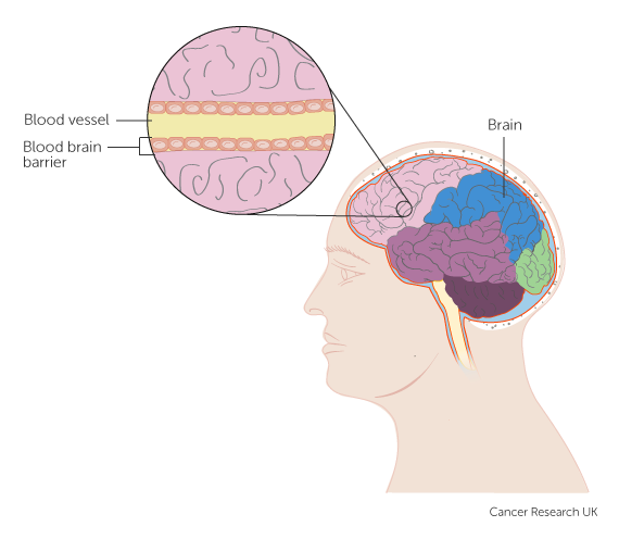 Diagram showing the blood brain barrier