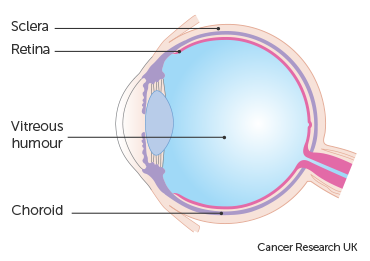 Diagram showing the eyeball