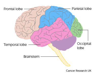 Diagram showing the lobes of the brain