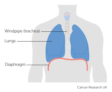 Diagram showing the lungs and diaphragm