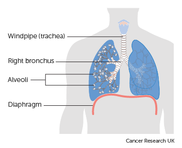 Diagram showing the lungs including the alveoli