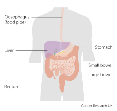 Diagram showing the parts of the digestive system