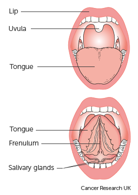 Diagram showing the parts of the mouth above and below the tongue