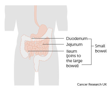 Diagram showing the parts of the small bowel