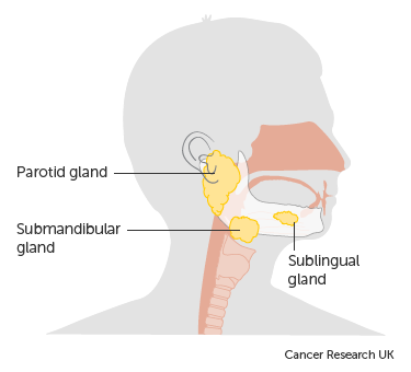 Diagram showing the position of the salivary glands