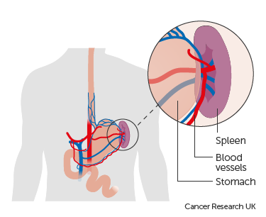 Diagram showing the position of the spleen