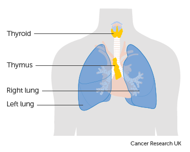 Diagram showing the position of the thymus