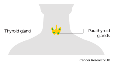 Diagram showing the position of the thyroid and parathyroid glands