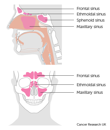 diagram showing the position of the sinuses