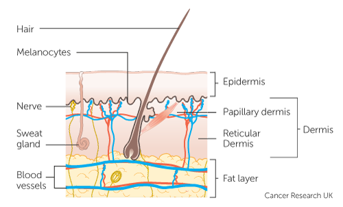 Diagram showing the structure of the skin including the Dermis and sublayers