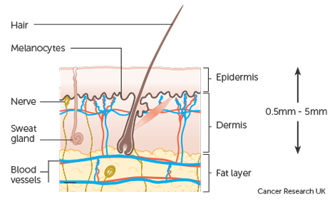 Diagram showing the structure of the skin