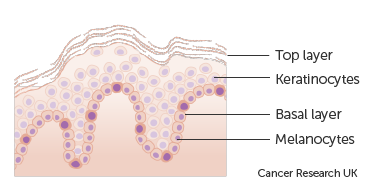 Diagram showing the types of cells in the epidermis