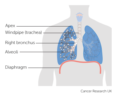 Diagram showing the lungs including the apex