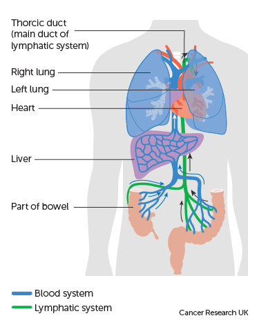 Diagram showing blood and lymph flow between the liver and bowel (Advanced bowel)