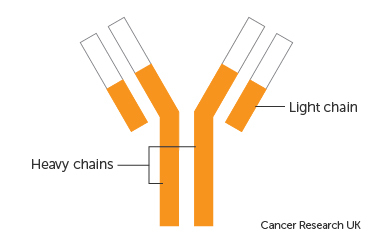 Diagram showing the light and heavy chains of an immunoglobulin