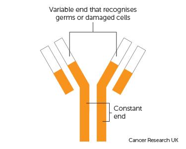 Diagram of an antibody